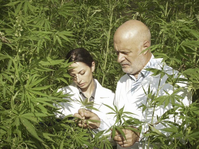 Expert researchers checking hemp plants in a field